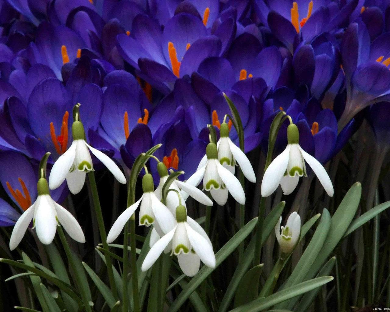 Фото пролески весенней подснежников крокусов 6