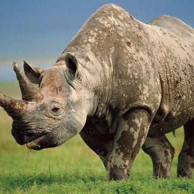На глазах у изумленных туристов носороги устроили битву (видео)