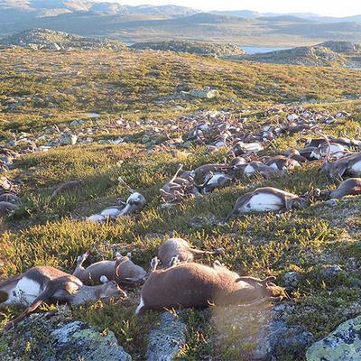 В Норвегии молния одним ударом убила 323 оленя