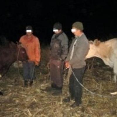 На Луганщине задержаны контрабандисты, что гнали скот в РФ