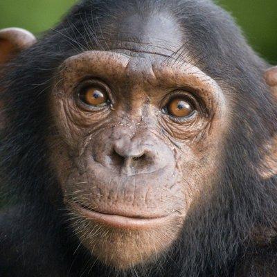 Шимпанзе научили детенышей пользоваться удочкой для ловли термитов