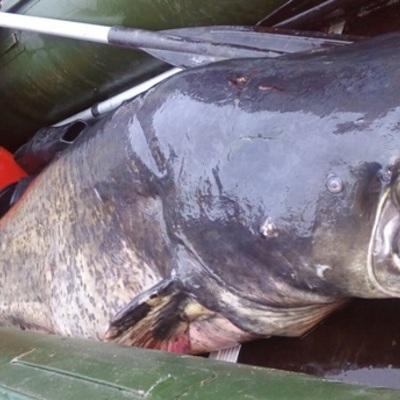 Киевлянин поймал гигантского 2-метрового сома (фото)