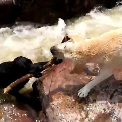 Собака спасла тонущего пса из бурлящей реки