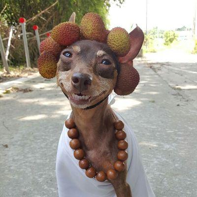 Собака-модница с фруктовыми прическами покорила интернет (ФОТО)