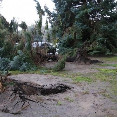 Возле ОГА в Одессе упало три огромных ели (фото)