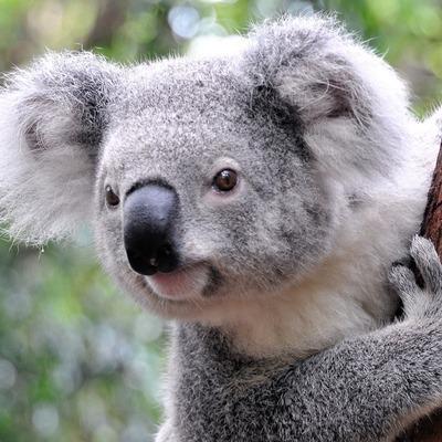 Детёныш коалы пробует забраться на дерево (видео)