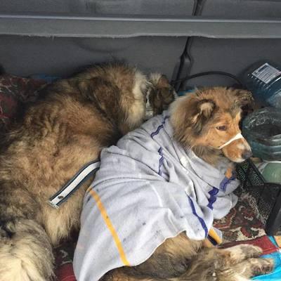 Собака двое суток телом согревал раненую поездом подругу (фото, видео)