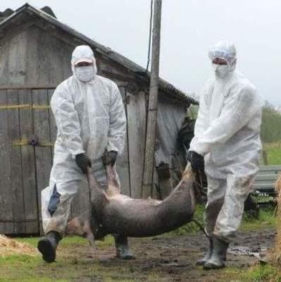 В Украине набирает обороты африканская чума свиней