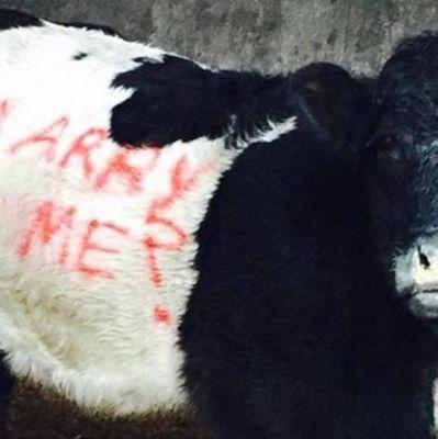 Фермер прислал объяснение любимой на теленке