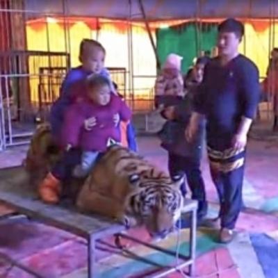 Посетители цирка садились и фотографировались верхом на связанном тигре (видео)
