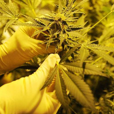 Бункер конопли марихуана состав