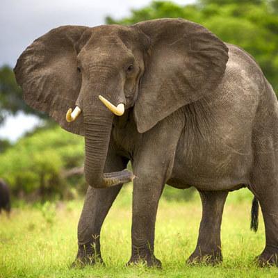 В Индии взбесившийся слон начал крушить легковой транспорт (видео)