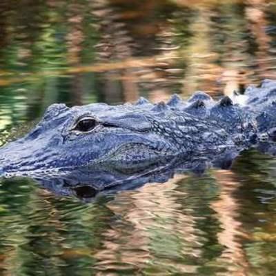 В США аллигатор съел летчика упавшего в болото