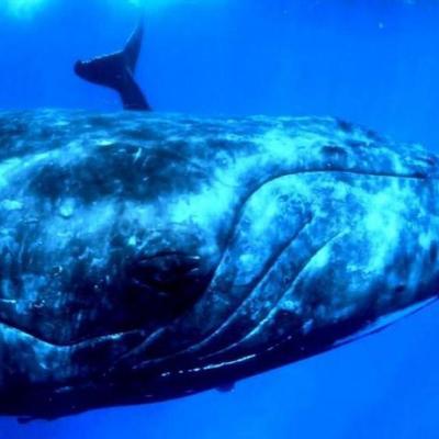 40-тонная самка горбатого кита шокировала мир (видео)