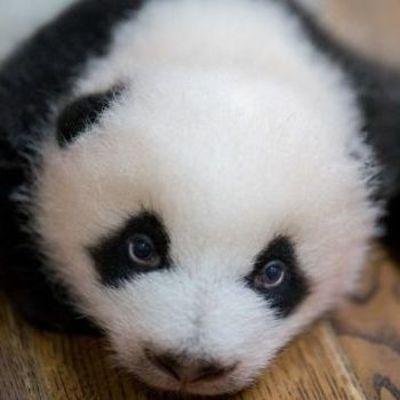 Китайцы возмущены кадрами жестокого обращения с маленькими пандами (фото)