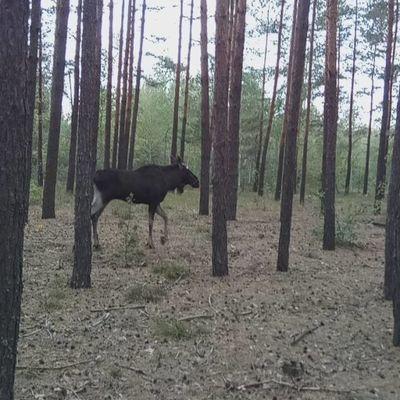 В Киеве заблудился большой лось возле Московского моста (фото)