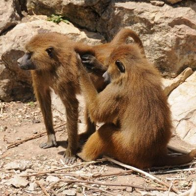 На Харьковщине в зоопарке обезьяны напали на мужчину