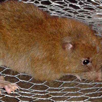 На Соломоновых островах обнаружили гигантскую мифическую крысу