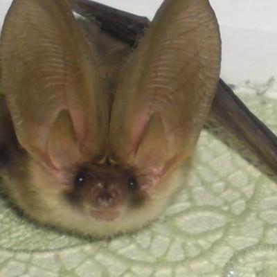 В киевском подвале обнаружили редкую летучую мышь с огромными ушами (фото)