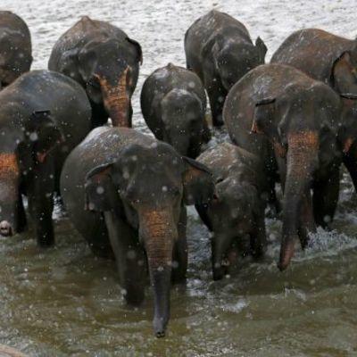 Плавание и кормление из бутылочки: детдом для слонов на Шри-Ланке