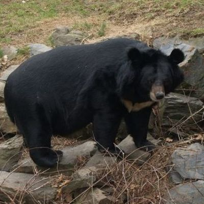 Три медведя забрались в пиццерию и съели всю колбасу (видео)