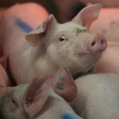 Беларусь временно ограничила ввоз свинины из четырех областей Украины