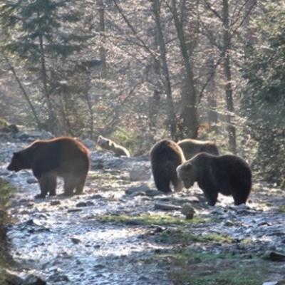 В Карпатах бурые медведи доедают малину и готовятся к зимней спячке (фото)