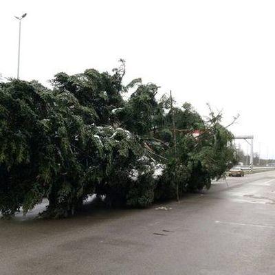 Встречайте: главная елка страны прибыла в Киев (фото)