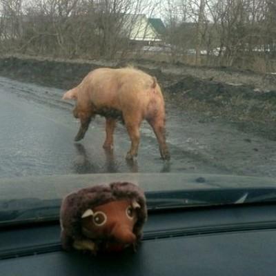 В Белой Церкви свинья спрыгнула с крыши грузовика и убежала