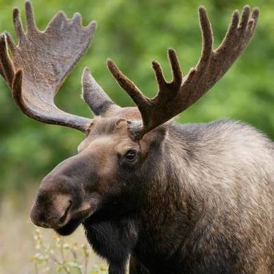 Лосей в Украине внесли в список краснокнижных животных, охота на них запрещена