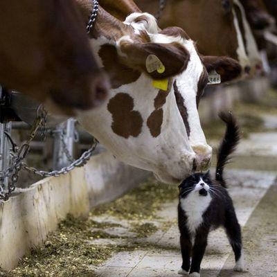 Билл Гейтс пожертвовал 40 миллионов долларов на создание нового вида коров