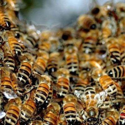 В Канаду отправят карпатских пчел для спасения исчезающей популяции, - посол
