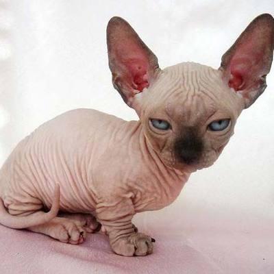 Девушке продали побритого кота по цене сфинкса