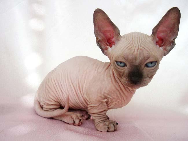 котёнок сфинкс фото