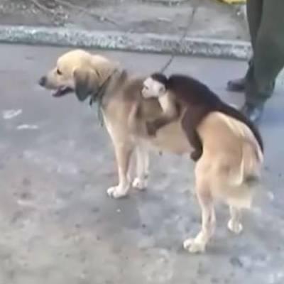 Животных не разлучить: в Колумбии собака усыновила обезьяну (видео)