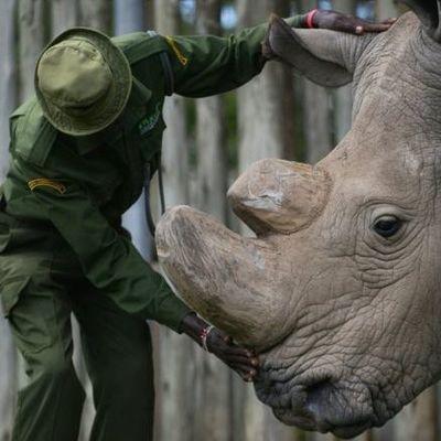 Умер последний самец северных белых носорогов