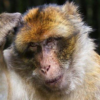 В Индии обезьяна похитила младенца
