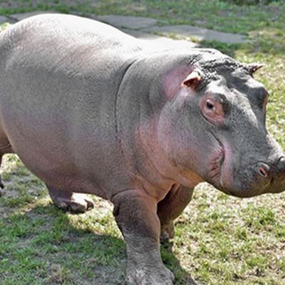 Киевский зоопарк приглашает посмотреть на бегемотиху