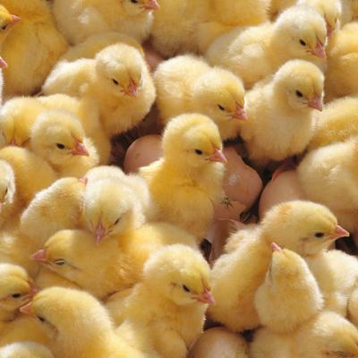 В Харьковской области сгорела птицеферма: погибли около 1000 цыплят