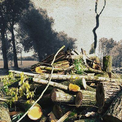 На Киевщине тотальная вырубка тополей вдоль дорог