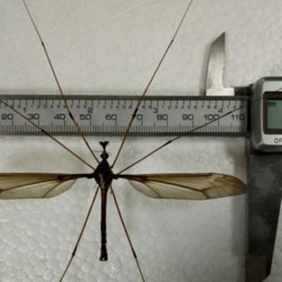 В Китае поймали самого большого в мире комара (фото)
