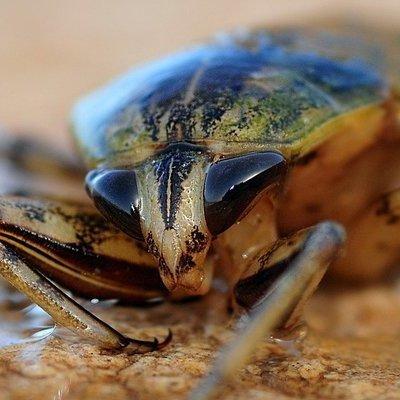 Ученые в Индии поймали таракана размером с кота