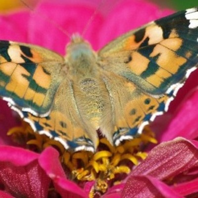 Киев заполонили бабочки