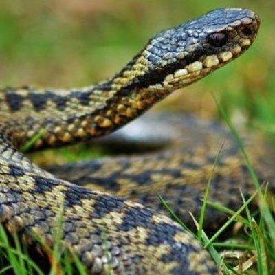 На Харьковщине ребенка укусила ядовитая змея