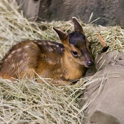 В киевском зоопарке родился олененок (видео)