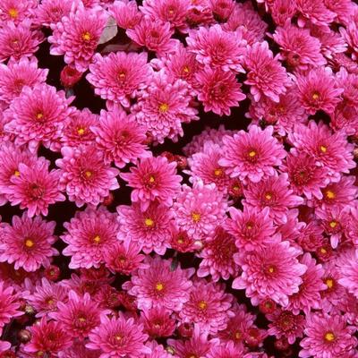 На Певческом поле пройдет выставка хризантем
