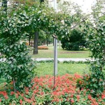 В Киеве появилась яблоня для влюбленных