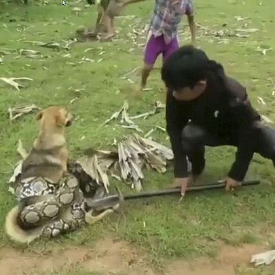 Подростки голыми руками спасли пса от змеи (видео)