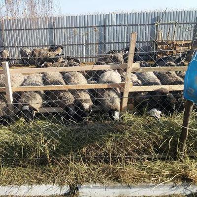 В Одесскую область доставили спасенных овец, которые 2 недели пробыли в грузовике без пищи и воды в порту «Черноморск» (фото, видео)