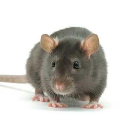 В Киеве крыса с бешенством укусила женщину